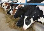 vaca leiteira - Veterinária Atual