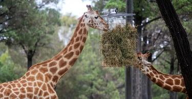zoo - girafas - Veterinária Atual