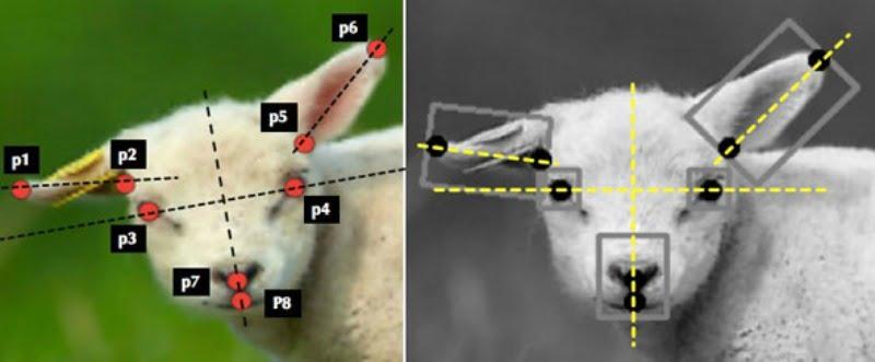 sistema inteligência artificial que mede dor em ovinos - Veterinária Atual