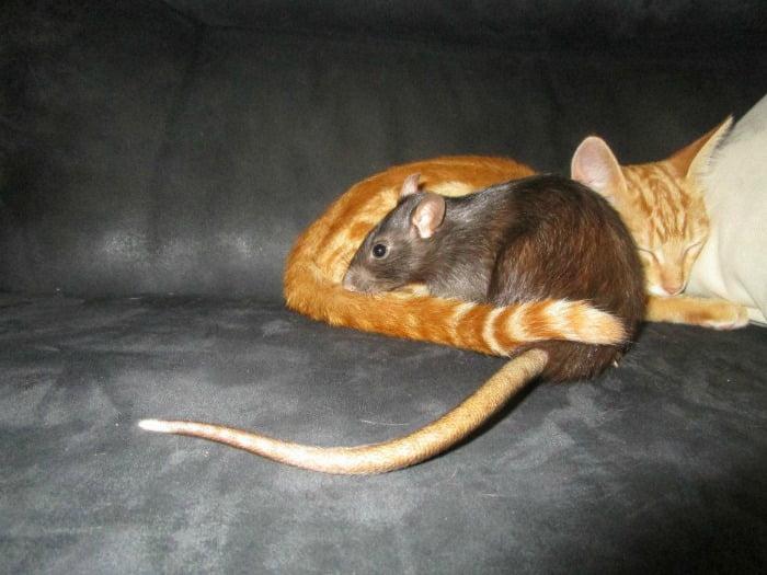 Uma das ratazanas de estimação de Carlos Gilling