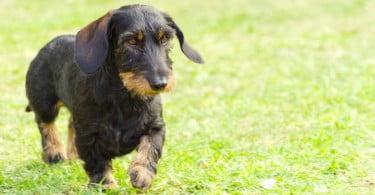 Investigação realizada com cães pode ajudar pacientes com forma rara de epilepsia
