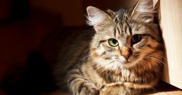 Ressonância magnética pode ajudar a detetar peritonite infeciosa felina