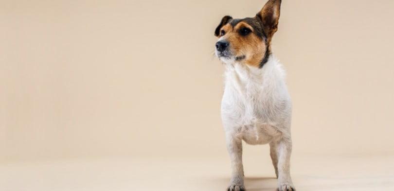 Vem aí uma nova era no tratamento da dermatite atópica canina?
