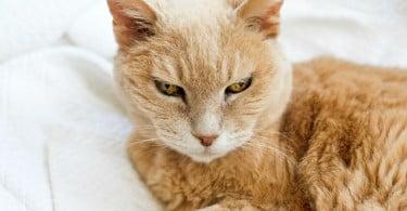 Dieta à base de ácidos gordos polinsaturados reduz formação de cálculos urinários em gatos