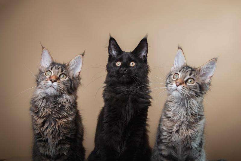 Desmame precoce pode influenciar agressividade em gatos