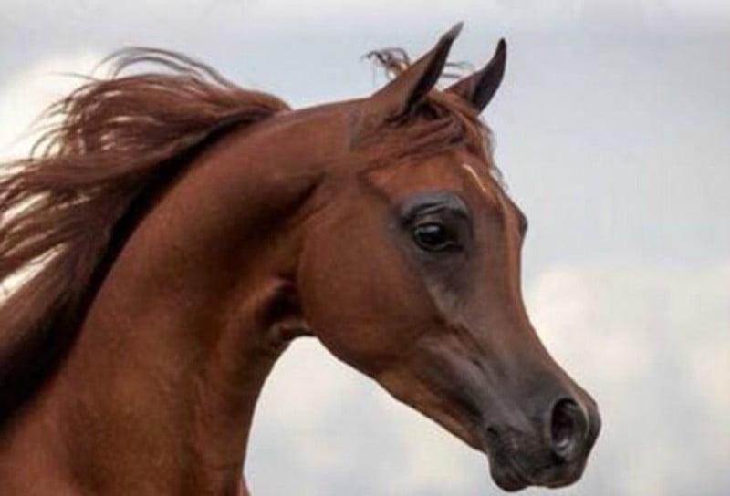 Cavalos que parecem desenhos-animados: nova polémica na reprodução animal