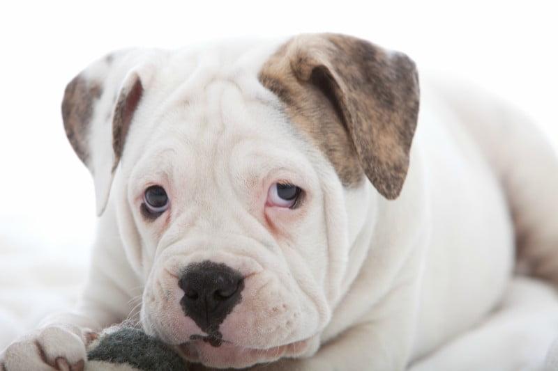 Cães mais expressivos quando se sentem observados