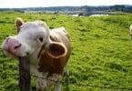Bem-estar das vacas pode aumentar com pequenas medidas
