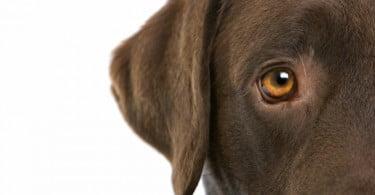 Cães não conseguem distinguir verde do vermelho