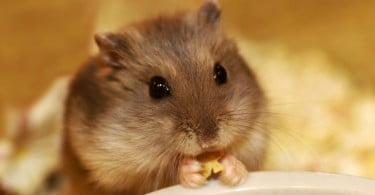 DGAV emite esclarecimento sobre doenças transmitidas por roedores
