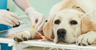 Investigadores estudam efeitos a longo prazo do parvovírus canino