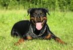 Vai haver nova certificação de treinadores de cães potencialmente perigosos