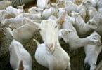 'Cabras sapadoras' são a resposta do Governo para controlo de combustível florestal