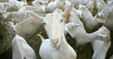 Investigadores estudam vegetação mediterrânica preferida por cabras