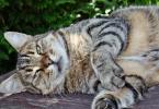Nível de atividade física voluntária dos gatos influenciada pela interação com humanos