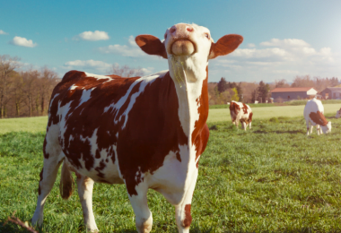 Bill Gates vai investir 40 M$ para criar uma 'super vaca'