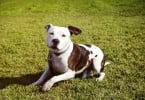 Portugal só tem cinco treinadores de cães perigosos