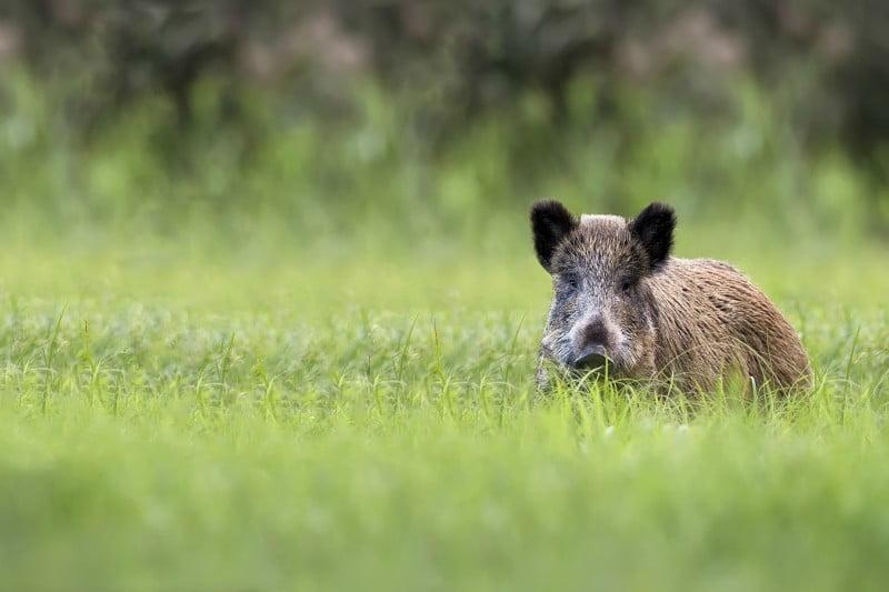 Governo legisla registo de matilhas de caça maior
