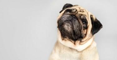 Traqueostomia em cães com colapso laríngeo grave: quais os resultados a longo prazo em cães braquicéfalos?