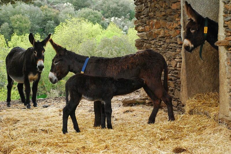 Instituto Abel Salazar vai criar banco genético para preservar burros-de-miranda