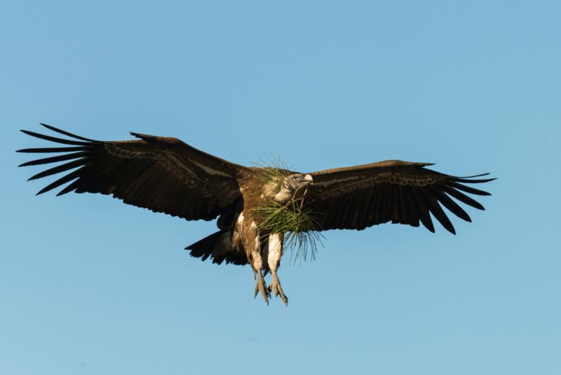 Assembleia da República pede proibição de medicamento veterinário fatal para abutres