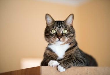 Gatos podem ajudar a encontrar tratamento para o HIV