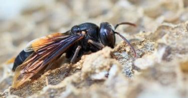 Veterinários avisam que métodos usados para destruir ninhos de vespa asiática não são eficazes