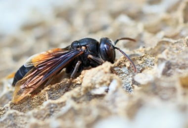 UTAD integra projeto de controlo da vespa asiática