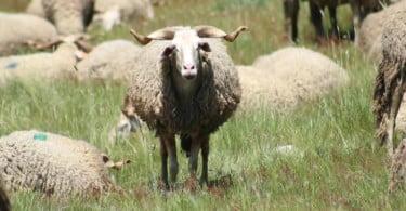 Reposição de ovelhas da Serra da Estrela dizimadas nos incêndios de 2017 está quase concluída