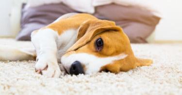 Epilepsia canina em debate em novo seminário