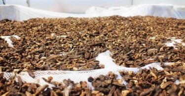 Dieta à base de insetos melhora sinais clínicos de cães com intolerâncias alimentares