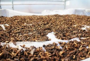 Utilizar insetos na alimentação animal: manual de boas práticas vai ser lançado