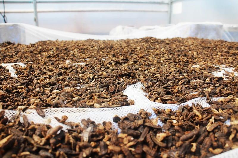 Proteínas à base de insetos podem ser resposta para melhorar sustentabilidade do setor dos animais de companhia