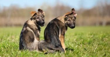 Estudo mostra que cães de raças grandes têm menor esperança média de vida