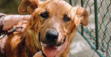 Tramadol não é eficaz no alívio das dores associadas à osteoartrite em cães