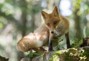 Animais são cada vez mais noctívagos e a culpa é das pessoas…