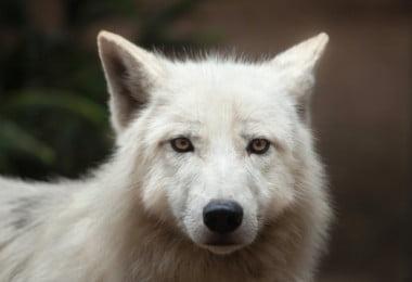 Portuguesas estudam domesticação de cães e lobos