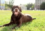 Labradores castanhos mais propensos a problemas de saúde