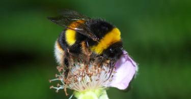 Existe falta de regulamentação na utilização de abelhões polinizadores nas estufas, diz estudo
