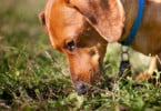 Cães conseguem detetar malária