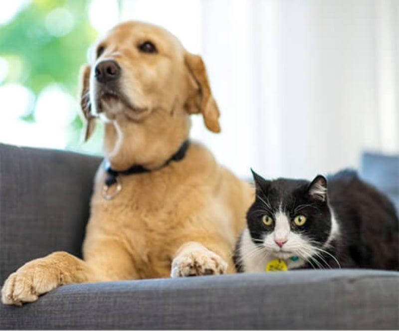 Merck, Purina e Zoetis voltam a unir-se para munir veterinários de ferramentas no combate à diabetes