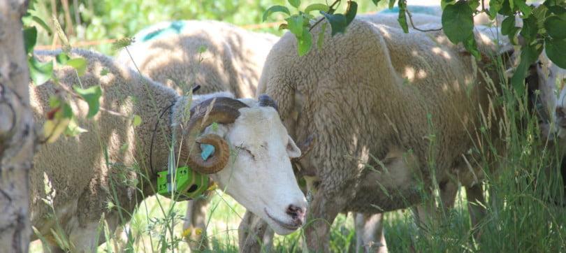 SheepIT: e se as ovelhas fossem a alternativa para o uso de herbicidas?