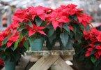 Flor do Natal: um perigo para animais de companhia