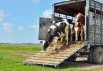 Parlamento Europeu quer melhor proteção dos animais transportados