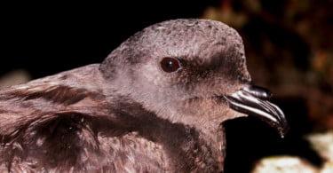 Nasceu um roque-de-castro na ilha da Berlenga