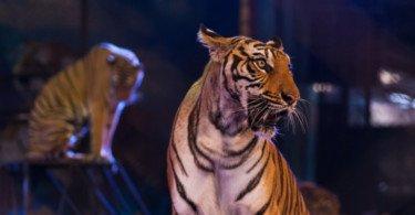 Animais selvagens no circo passam a estar proibidos