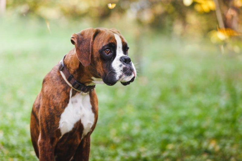 Osteoartrite é mais grave em cães com mais de 35 kg e em Boxers