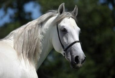 Basta meia hora de exercício ligeiro para reduzir peso de cavalos obesos