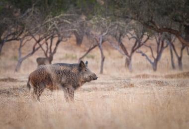 Descontrolo na população de javalis pode trazer peste suína africana para Portugal
