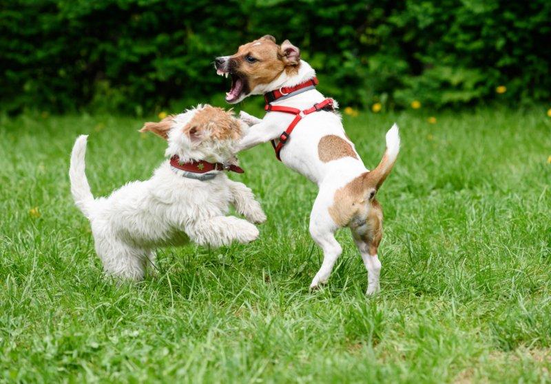 'Comportamentos indesejáveis' em cães relacionados com morte precoce